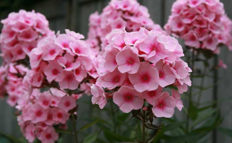 Выращивание многолетних цветочных культур из семян