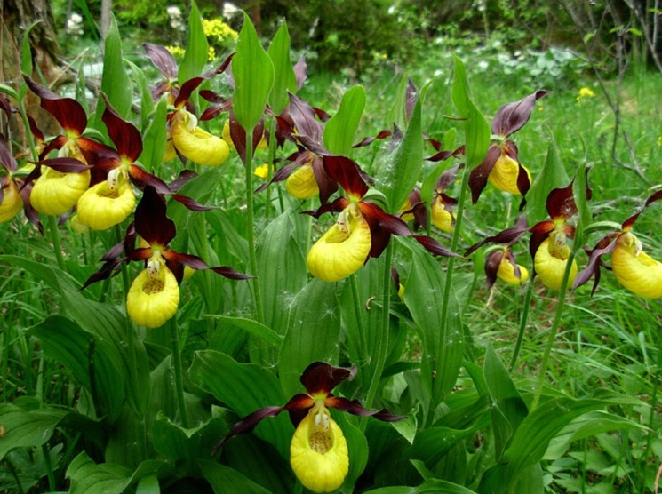 Венерин башмачок (Cypripedium calceolus)